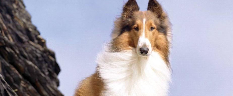 Image principale de l'article Lassie