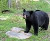 Selon le «boucher des chasseurs» Daniel Himbeault, la venaison de l'ours est aussi délicieuse que celle des cervidés.