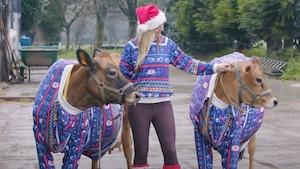 Image principale de l'article Elle met des chandails de Noël à ses vaches
