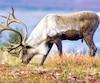 Les grands acheteurs de papier provenant de la forêt boréale se disent inquiets pour la survie du caribou des bois face au manque de protection de son habitat essentiel.