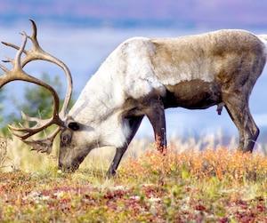 Male Caribou Grazing on Toklat River Basin