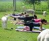 Faire du yoga entouré d'alpagas et d'un décor naturel comme un pâturage serait plus relaxant que dans un gymnase.