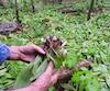 Des jardins d'ail des bois comme celui-ci, situé dans la région d'Oka, peuvent rapporter une petite fortune aux contrebandiers.