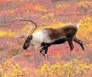 Le caribou forestier de Val-d'Or est considéré comme une espèce vulnérable.