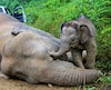 MALAYSIA-WILDLIFE-ENVIRONMENT-ELEPHANTS