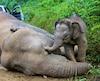 MALAYSIA-WILDLIFE-ENVIRONMENT-ELEPHANTS