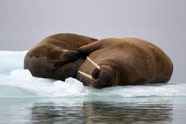 Les morses se prélassent à la dérive sur des plaques de glace.