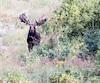 Le «Monstre de Matane» est un orignal atypique qui jouit d'une grande réputation parmi la cohorte de chasseurs.