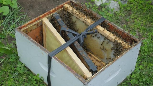 Un essaim comme celui-ci peut coûter plus de 200$ à un apiculteur cherchant à remplir une nouvelle ruche selon M. Beaudoin.