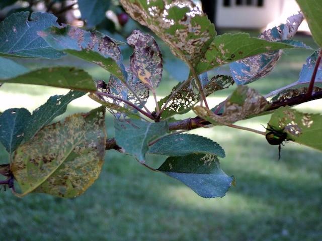 Feuillage dévoré par le scarabée japonais.