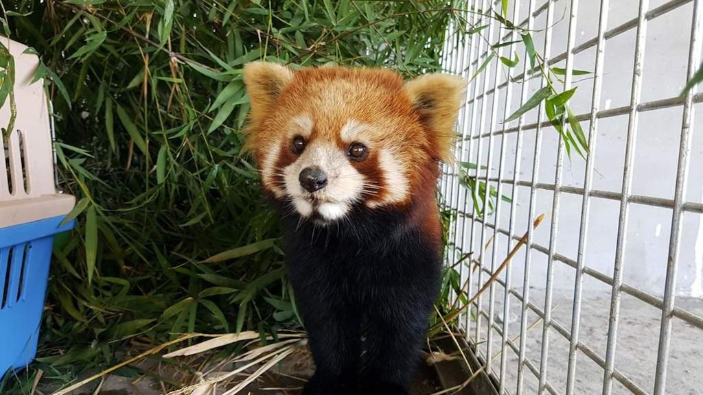 16 photos de pandas roux qui vous feront découvrir un nouvel animal préféré