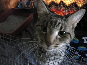 Ce jeune chat tigré mâle a survécu près de 80 jours dans la zone sinistrée de Lac-Mégantic. Il vient d'être rescapé, mais son état est inquiétant.