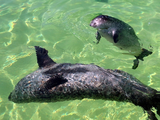 L'Aquarium de Shippagan, c'est un réel plaisir de voir évoluer  Océane et son rejeton de trois semaines, D'Amour, ainsi nommé  en l'honneur du comédien Normand d'Amour qui était l'invité  de l'émission La petite séduction.