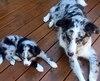 Une femelle berger australien prénommée Ashley avait 2 mois au moment de la rupture entre ses maîtres, James Clark et Tarah Joannou. Scout, un mâle de la même race, avait quant à lui 13 mois. L'homme aimerait avoir la garde d'un des deux chiens.