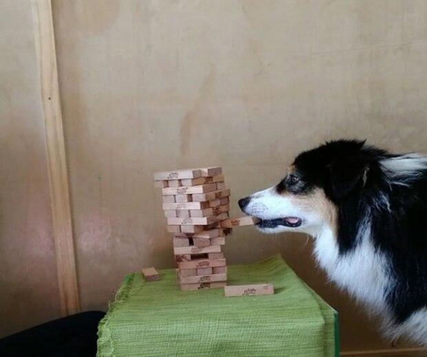 Vous serez fascinés par ce chien qui joue au Jenga