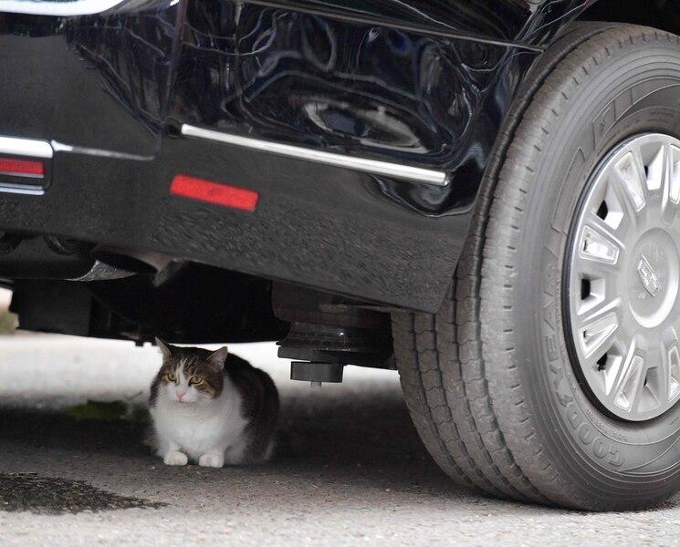 Larry, le chat qui a fait stopper la limousine de Donald Trump
