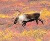 Le ministre des Forêts, de la Faune et des Parcs, Luc Blanchette, a laissé entendre jeudi qu'il ne ferait rien pour sauver les caribous forestiers de Val-d'Or. Selon des experts, cela reviendrait à condamner les 18 bêtes restantes à mourir.