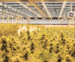 Site de production de cannabis de l'entreprise HEXO dont le titre a perdu tout près de 50% de sa valeur depuis la fin avril.