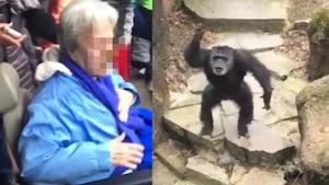 Un chimpanzé lance ses excréments dans la foule