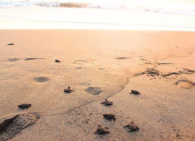 Remise à la mer des bébés tortues dans le Pacifique, à la réserve naturelle Isla Juan Venado, près de Leon.