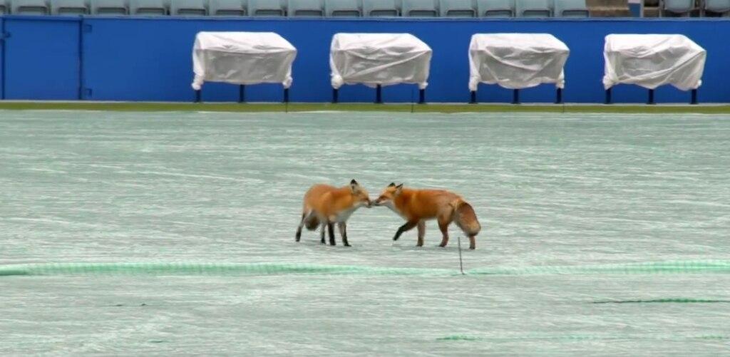 Deux renards s'amourachent au stade Saputo de Montréal