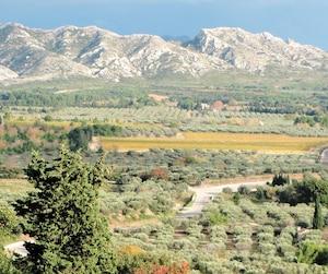 Culture d'oliviers au pied du parc naturel régional des Alpilles.