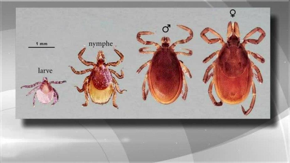 L'antibiotique pour prévenir la maladie de Lyme