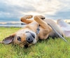 German shepherd mixed breed dog enjoying summer days