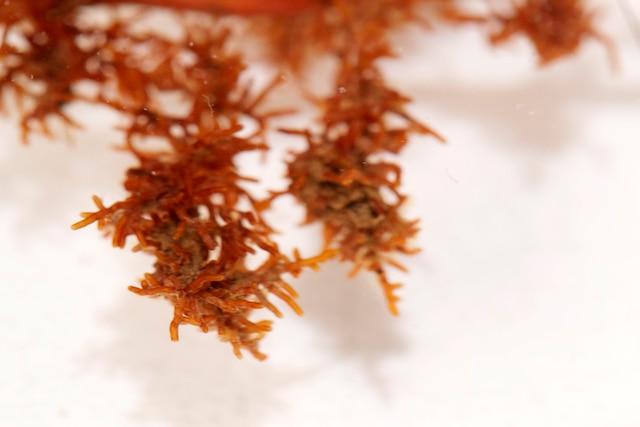 Voici des mycorhizes de Truffes des Appalaches.
