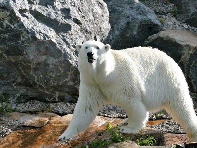 Les ours polaires sont certainement  les vedettes de Saint-Félicien.