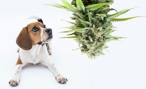 Image principale de l'article 12 kg de marijuana tombent du ciel sur une niche