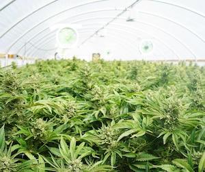 Bloc cannabis médical