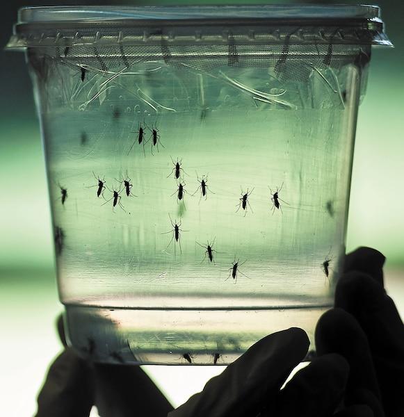 Le virus Zika est transmis par un moustique. Il y a des risques que les femmes enceintes infectées accouchent d'un bébé atteint de microcéphalie, c'est-à-dire avec un crâne anormalement petit et un retard mental. Depuis octobre dernier, le Brésil a recensé 4180cas de nouveau-nés microcéphales, alors qu'en 2014, 150cas avaient été détectés. Rio inspectera intensivement les installations olympiques afin d'éviter la prolifération du moustique porteur du virus.