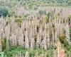 Une nouvelle épidémie de la tordeuse des bourgeons de l'épinette fait des ravages au Québec.
