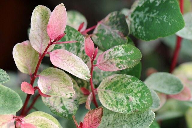 Breynie 'Roseopicta' (Breynia disticha 'Roseopicta')