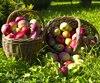 verger pommes panier automne