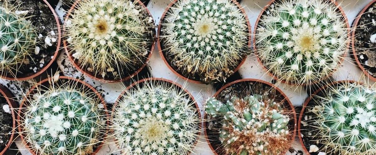 une grande vente de cactus aura lieu ce weekend montr al jdm. Black Bedroom Furniture Sets. Home Design Ideas