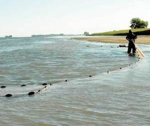 Des chercheursd'Environnement et Changement climatique Canada ont pêché la perchaude dans le Saint-Laurent pendant cinq ans pour étudier l'état de santé des populations de ce poisson emblématique du fleuve.
