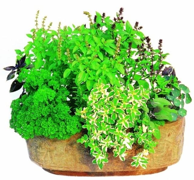 Des fines herbes fra ches tout l automne et l hiver jdm - Fines herbes en pot interieur ...