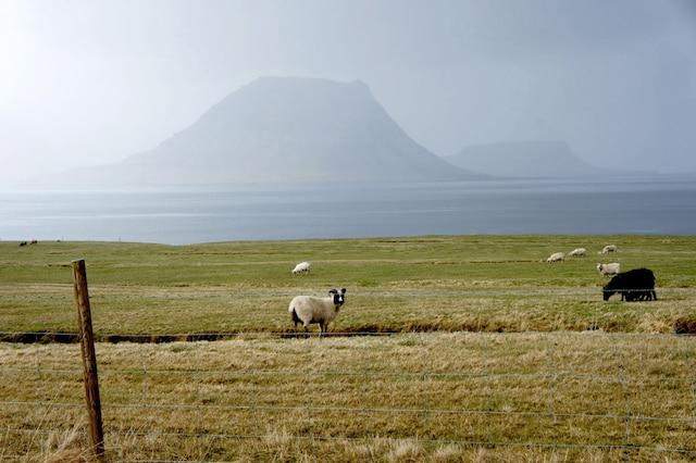 Il y a des moutons partout en Islande.