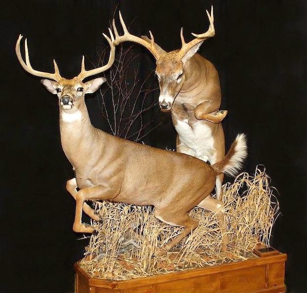 <b>Cerfs de Virginie</b><br /> «Un petit saut pour un gros buck»
