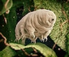Tardigrade (water bear).