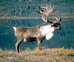 Caribou écotype forestier