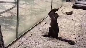 Ce singe tente de s'évader du zoo d'une manière