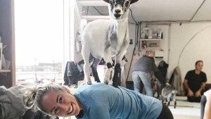 Image principale de l'article Des cours de yoga avec chèvres dans un studio
