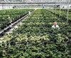 Hexo, aussi appelée Hydropothecary, possède de vastes serres à Gatineau. Même si elle compte rester au Québec, Hexo aimerait bien vendre sa marijuana de l'autre côté de la rivière des Outaouais. Hexo emploie 200personnes et prévoit doubler ce nombre.