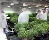 L'entreprise Aurora Cannabis possède déjà une usine en Alberta où elle cultive du cannabis médical.