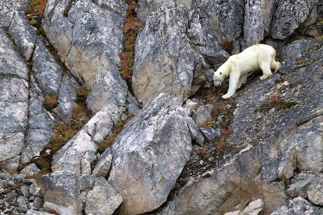 Les ours polaires sont fréquents dans cette région.
