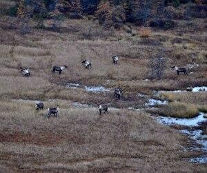Richard Desjardins rend le gouvernement responsable de l'extinction prévue d'un troupeau de caribous forestiers de Val-d'Or.