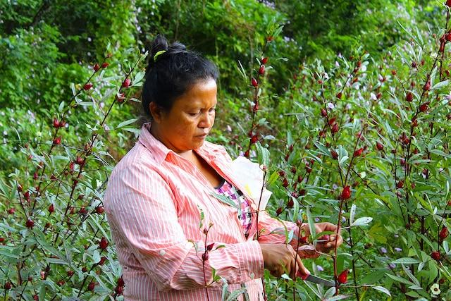 Cueillette d'hibiscus  avec les membres de la  communauté de Puesta  del Sol, sur l'île  d'Ometepe.
